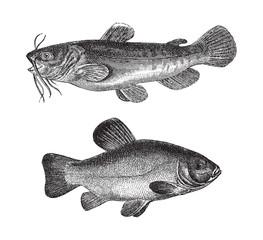 Brown bullhead (Amiurus nebulosus) above and Tench or doctor fish (Tinca vulgaris) under / vintage illustration from Meyers Konversations-Lexikon 1897