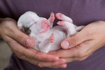 Newborn puppy of the Jack breed Russell Terrier