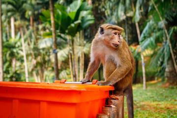 Hungry monkey eating is looking around, Sri Lanka
