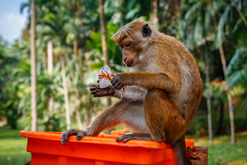 Hungry monkey eating some food, Sri Lanka