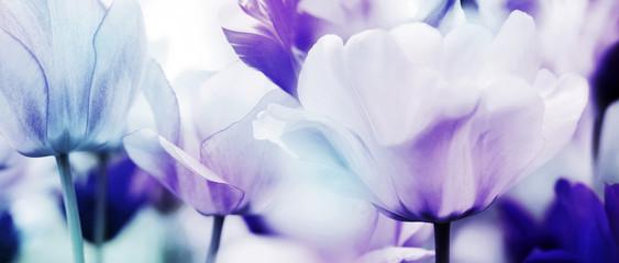 tulips cyan violet ultra light