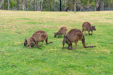 Mob of kangaroos, wallaby grazing on the green grass