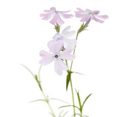 Flowers phlox subulate isolated on white background.