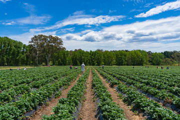 Strawberry patch, field with rows of strawberry plants