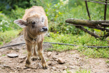 little cute calf with big ears; young buffalo