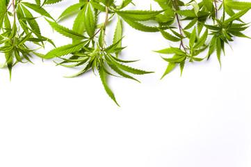 Marijuana branches isolated on white