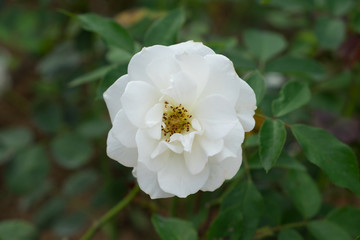 White rose in the garden.
