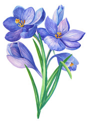 Watercolor illustration with violet crocus or saffron on a white background.bouquet of purple flowers.Can be used as greeting cards, wedding invitations, birthday, spring or summer holiday.