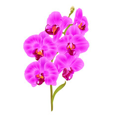 Branch orchid Phalaenopsis  purple  flowers and leaves tropical plants  stem and buds on a white background vintage vector botanical illustration for design editable hand draw