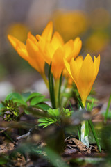Beautiful yellow crocus flowers closeup