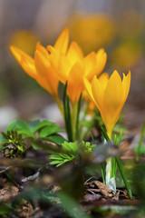 Beautiful yellow crocus flowers closeup