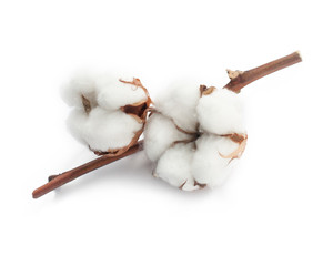 Cotton white dry flower two bud on branch isolated on white background