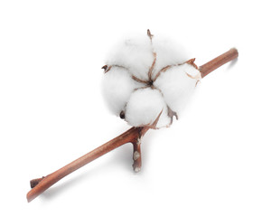 Cotton white dry flower bud on branch isolated on white background