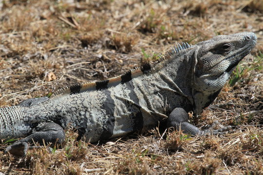wild iguana at the maya ruins of tulum, mexico