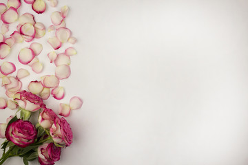.White background of rose petals and pink roses