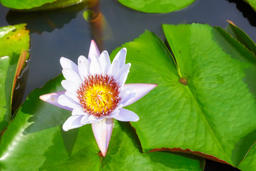 Picture of a lotus flower, selective focus