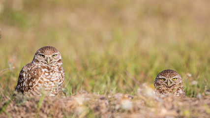 Couple of Burrowing owls in the nest (Athene cunicularia), Cape Coral, Florida