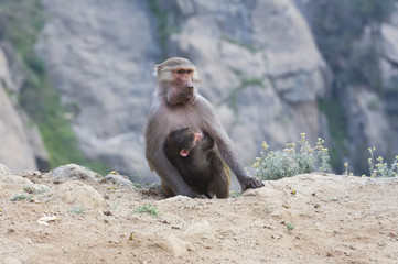 Baboons in The Mountains of South West Arabia