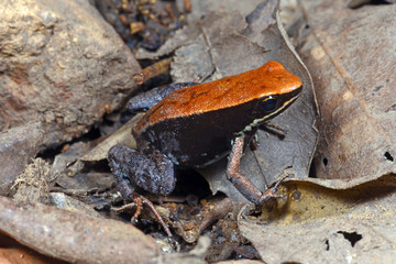 Printed roller blinds Frog Madagaskar-Buntfrosch (Mantella betsileo) - Brown mantella / Lokobe National park / Nosy Be / Madagaskar
