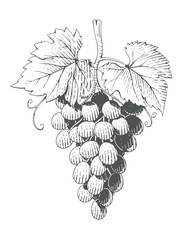 Grapes. Bunch of Berrys in engraving style. Vegetarian healthy