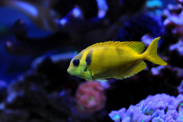 Blue spooted rabbitfish ( Siganus corallinus)