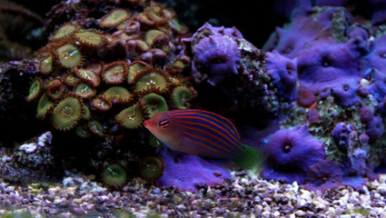 Sixline wrasse in reef aquarium tank