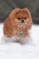 Fototapete - Pomeranian spitz in winter day