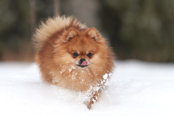 Wall Mural - Pomeranian spitz in winter day