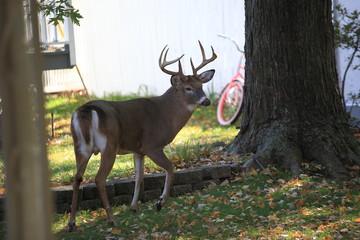 Suburban Backyard Deer - Wild deer behind home in the suburbs..