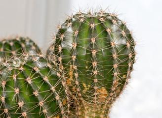 cactus enlarged image