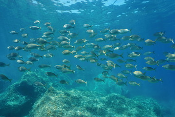 School of fish seabreams, salema porgy, Sarpa salpa, underwater in the Mediterranean sea, Costa Brava, Catalonia, Spain