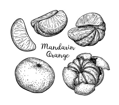 Ink sketch of mandarin orange.