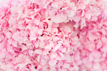Fotomurales - Pink hydrangea background. Flowers are blooming in spring and summer at sunset in town garden.