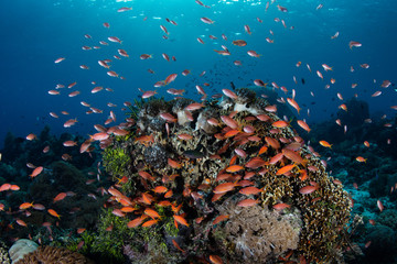 Foto auf AluDibond Unterwasser Colorful Anthias and Coral Reef in Alor