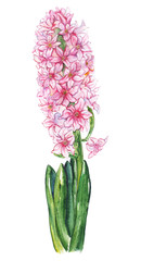 Watercolor pink hyacinth flower green leaf nature plant isolated