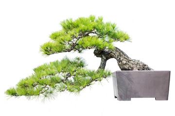 Papiers peints Bonsai Pine Bonsai Isolated on White Background