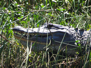 American Alligator basking in the morning sun.
