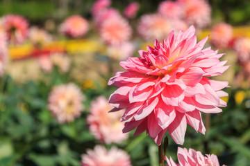Beautiful pink dahlia flowers.