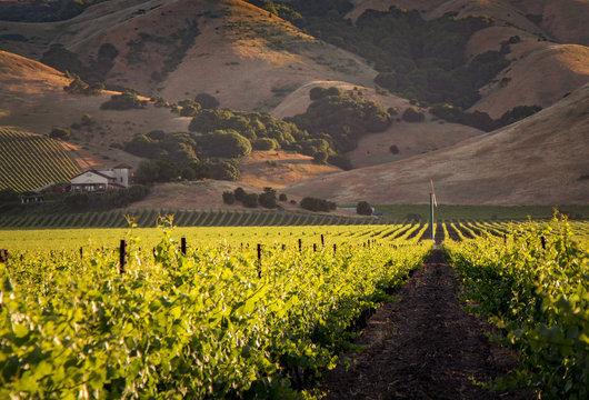 Golden Wine Country Vineyards