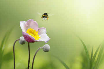 Wall Mural - Beautiful pink japanese anemone flower on spring green field and flying bumblebee  in nature macro on soft blurry light background. Concept spring summer, elegant gentle artistic image, copy space.