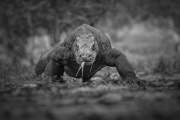 Artistic, black and white photo of prehistoric komodo dragon, Varanus komodoensis, for fineart prints, close up to photographer with a touch of beautiful nature environment.  Wall mural