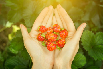 Close-up image of woman's hands holding a bunch  strawberry. Female holding handful  fresh strawberries after harvest from garden.