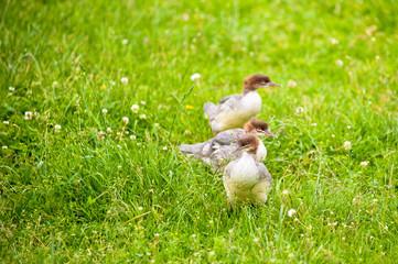 three wild ducklings