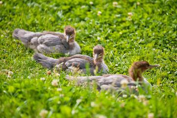 Wild ducklings in nature