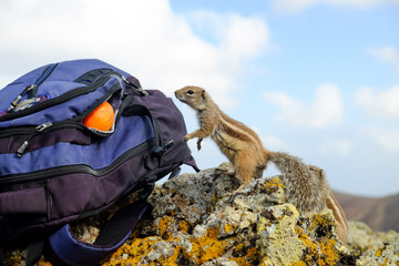 African ground squirrel looking at orange in a backpack.