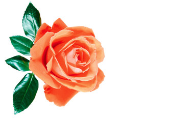 flowers wall background with amazing rose