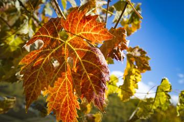 Colorful Autumn Grape Leaves