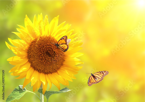 Wall mural Sunflower and monarch butterflies on blurred sunny background