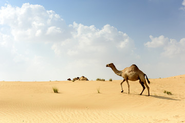 Camel In Arabian Desert