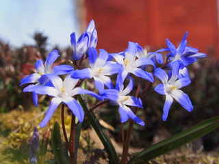 Scilla, delicate, beautiful plant, spring harbinger.